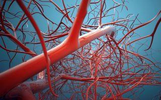 Ученые вырастили из обычных клеток стволовые, которые «плетут» сосудистые сети