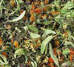Травяной сбор при атеросклерозе