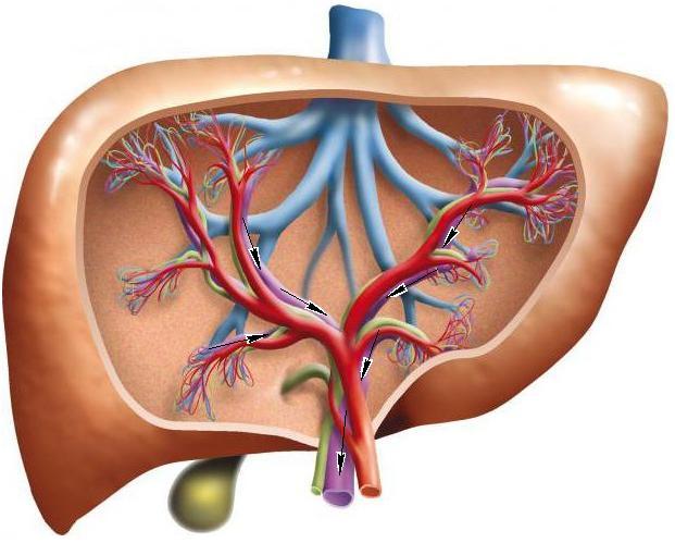 Портальная гипертензия - причины, симптомы и лечение заболевания